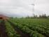 Organic Strawberry Fields