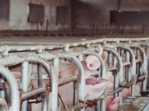 Pigs barbiting2