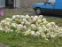 cabbage waste