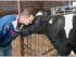 organic farmer with cow