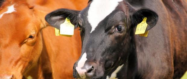cows-827705_1920