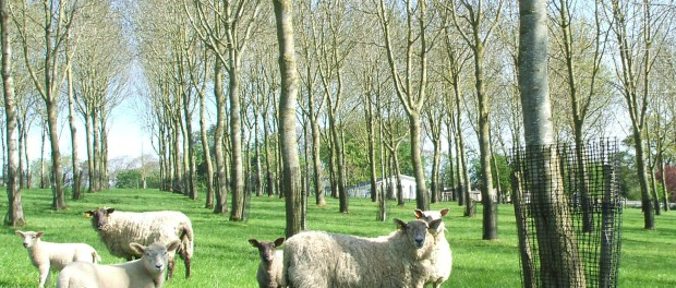 Sheep with trees in loughgall, Northern Ireland.