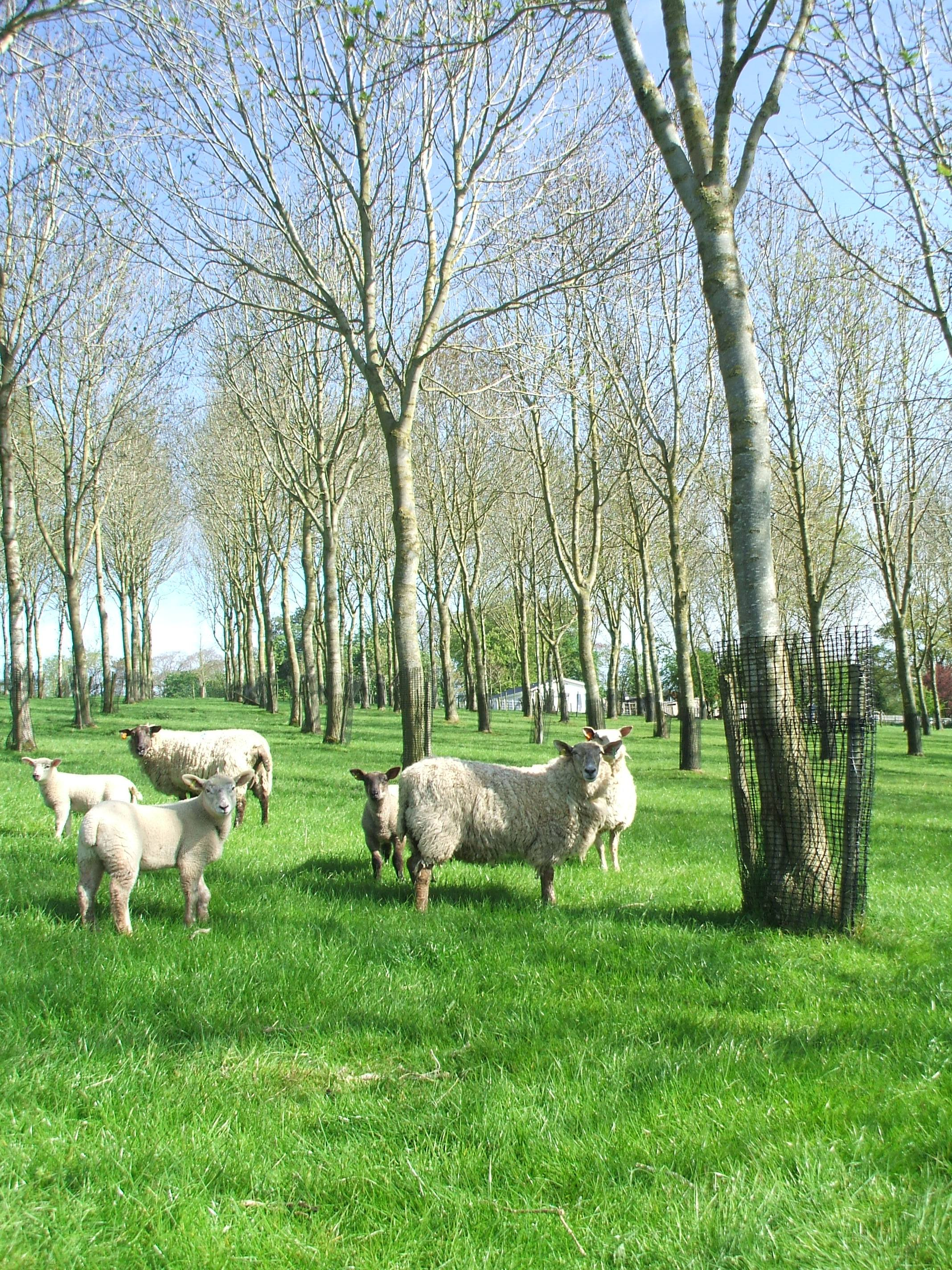 silviopastoral agroforestry (Sheep with trees) in Loughgall, Northern Ireland.