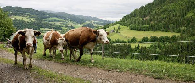 cows ec_organic_126_big