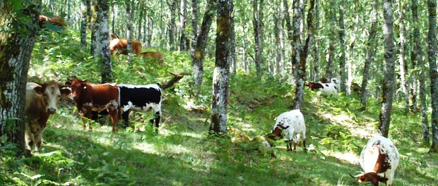 "It is common for cows in Spain to graze in oak wood pasture for most of the year, but the land is not eligible for CAP payments because there are ""too many trees"". Author: Guy Beaufoy"