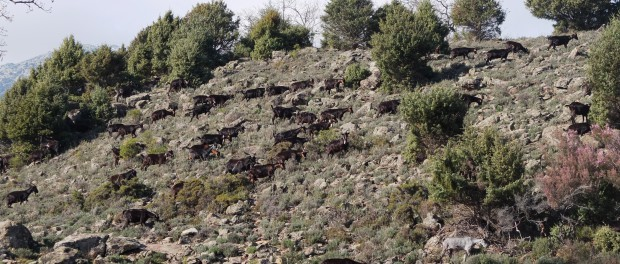 Goats grazing in a Natura 2000 site in central Spain, as the pasture is not herbaceous it can only be eligible for CAP payments with special justifications based on established local practices. Author: Guy Beaufoy