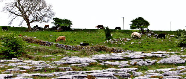 Cattle in the Burren, Ireland.