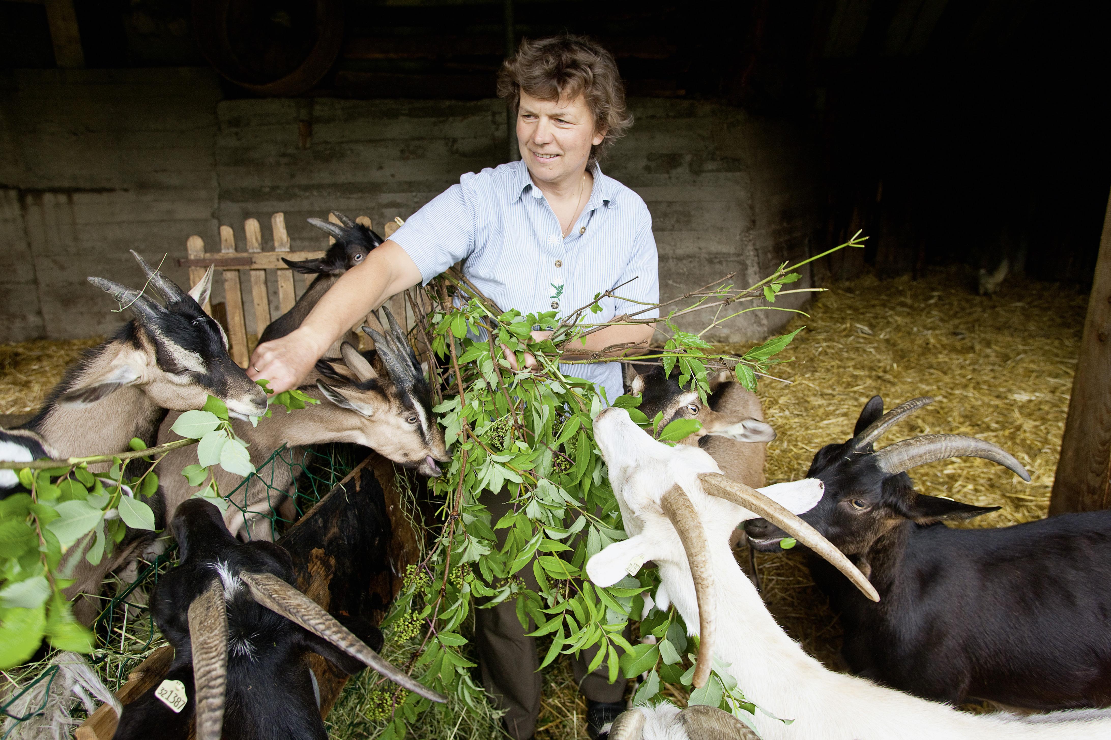 organic farmer feeds her goats