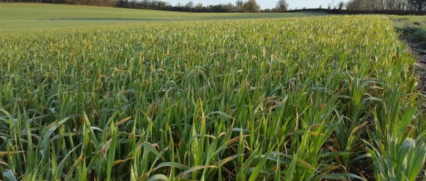 A view of Pat Lalor's weed free field of oats (c) Pat Lalor