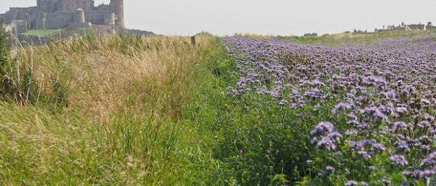 Wildflower field margin by Johnson Cameraface