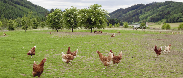 Organic free range chickens (c) EU COmmission