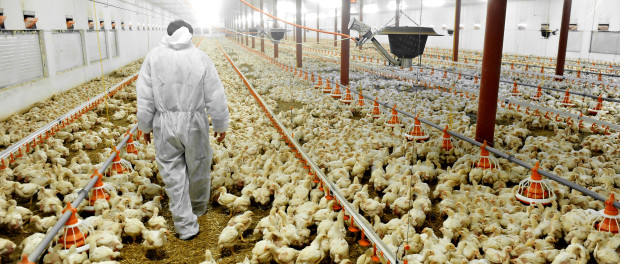 A farmer veterinary walks inside a poultry farm