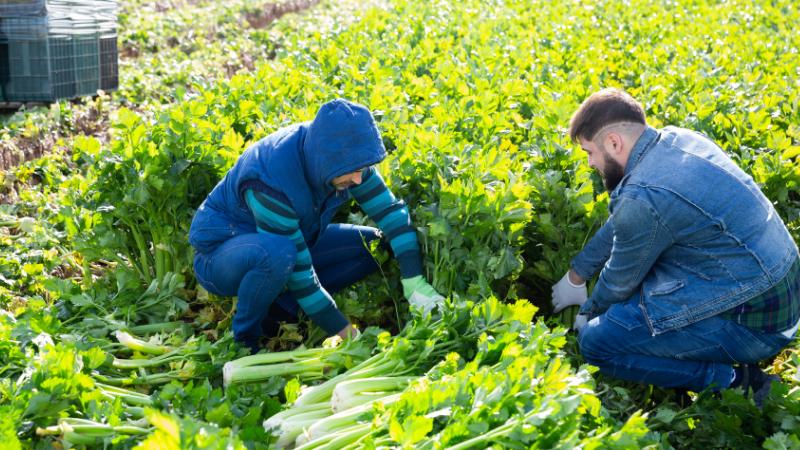 Celery harvest in Spain