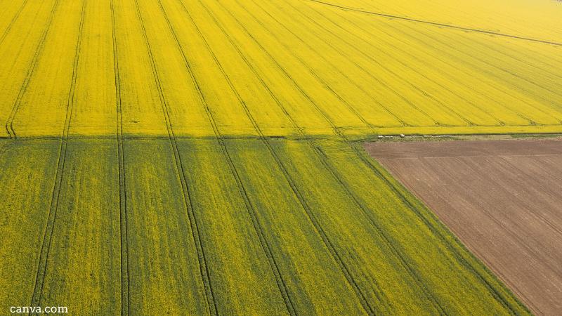Rapeseed field in Serbia