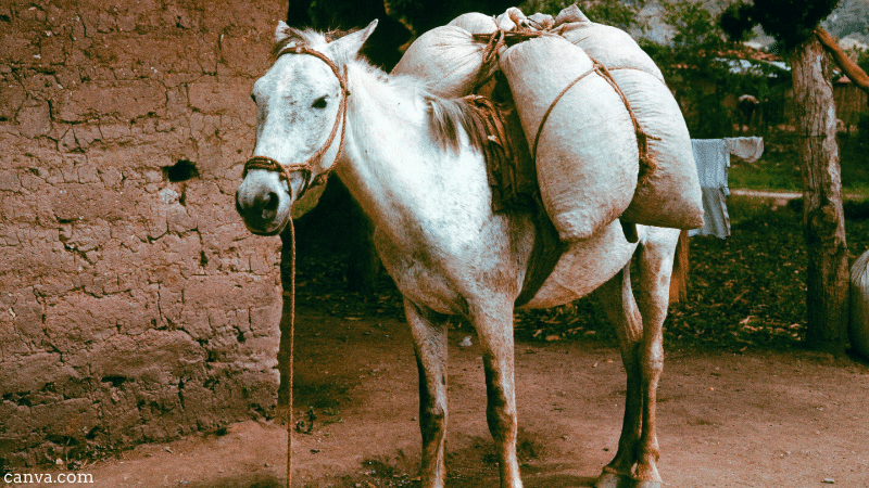 Donkey carrying coffee beans in Honduras