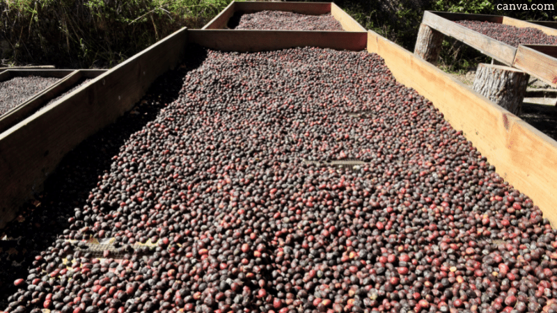 Coffee beans drying out under the sun in Honduras