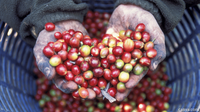 coffee-plantation-near-the-city-of-Antigua-in-Guatemala-2.png